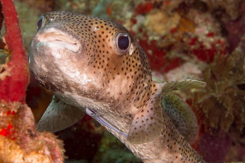 Remora under the porcupinefish!