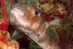 2015Apr Dominica Dive 9: Scottshead Point