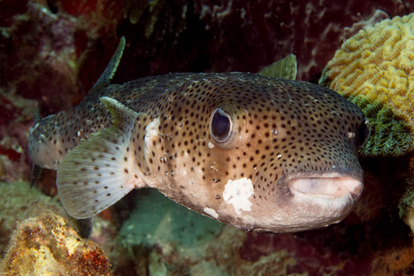 Large porcupinefish.  He has gotten pretty beaten up! by...