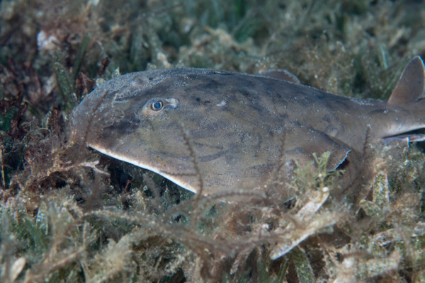 Lesser Electric Ray in the grass by Willis Chung