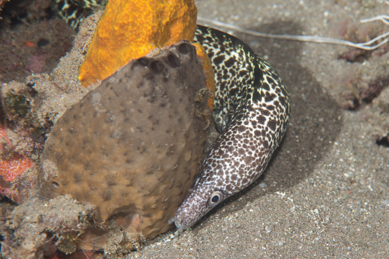 Spotted moray eel on the move