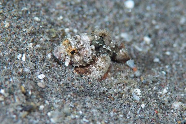 Juvenile scorpionfish by Willis Chung