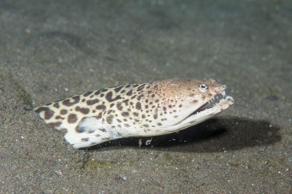 King Spotted Snake Eel easing back into the sand by...