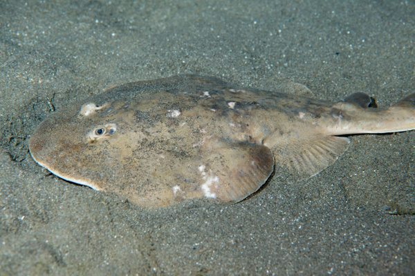 Lesser Electric Ray by Willis Chung