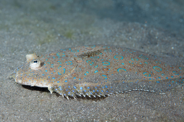 Peacock flounder eye by Willis Chung