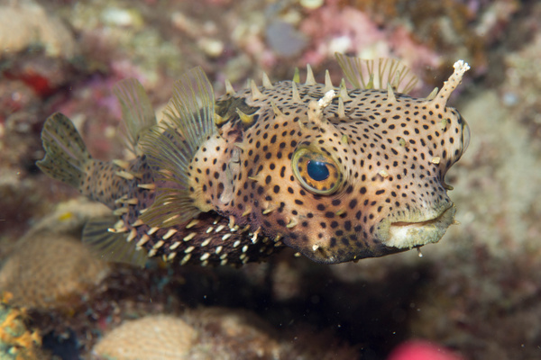 Burrfish up close by Willis Chung