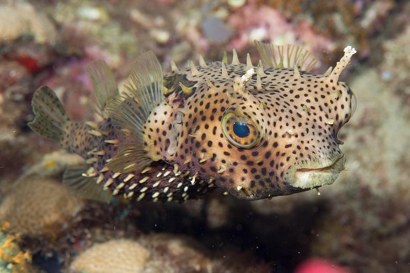 Burrfish up close