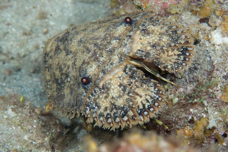 Sculptured Slipper Lobster (I think) face on