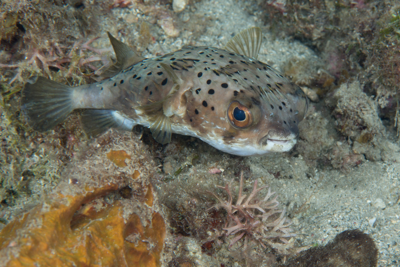 Small Porcupinefish