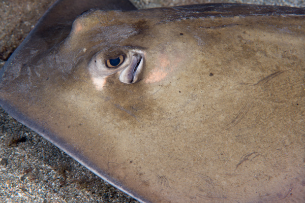 Lesser Electric Ray giving me an eyeful by Willis Chung