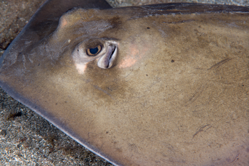 Lesser Electric Ray giving me an eyeful