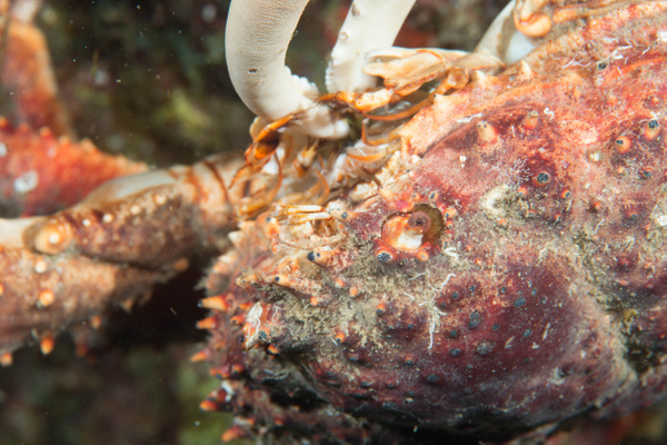 Channel Clinging Crab feeding using claw by Willis Chung