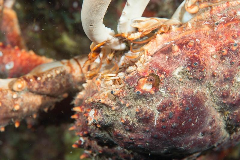 Channel Clinging Crab feeding using claw