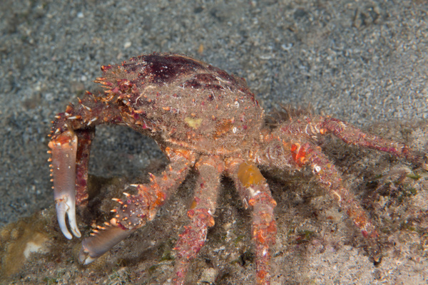 Channel Clinging Crab I think by Willis Chung