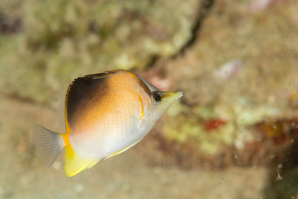 Longsnout Butterflyfish by Willis Chung