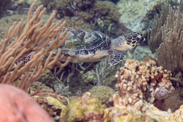 Hawksbill turtle by Willis Chung