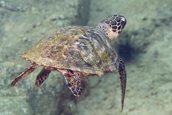 Hawksbill turtle in flight by Willis Chung