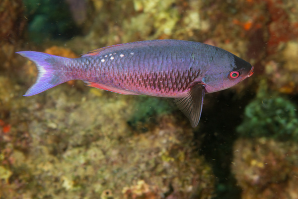 Creole Wrasse by Willis Chung