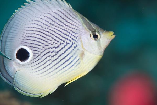 Foureye Butterflyfish by Willis Chung