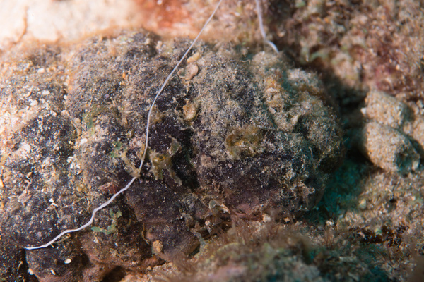 Sea cucumber of some sort by Willis Chung