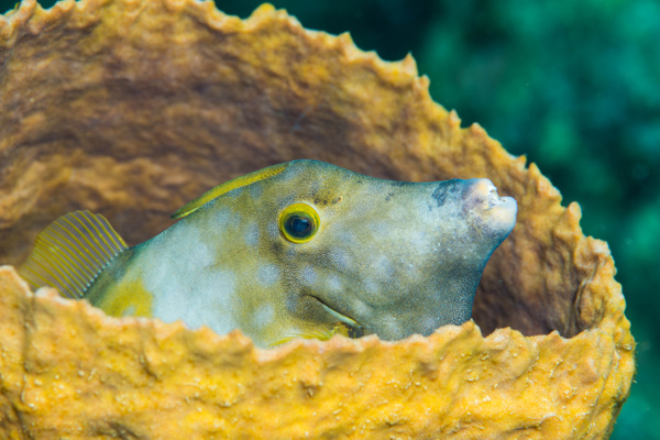 White spotted filefish in a barrel sponge by Willis Chung