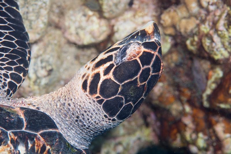 Aerial shot of hawksbill turtle head