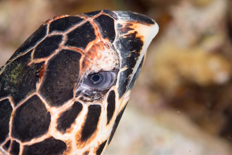 Hawksbill turtle eyeing me