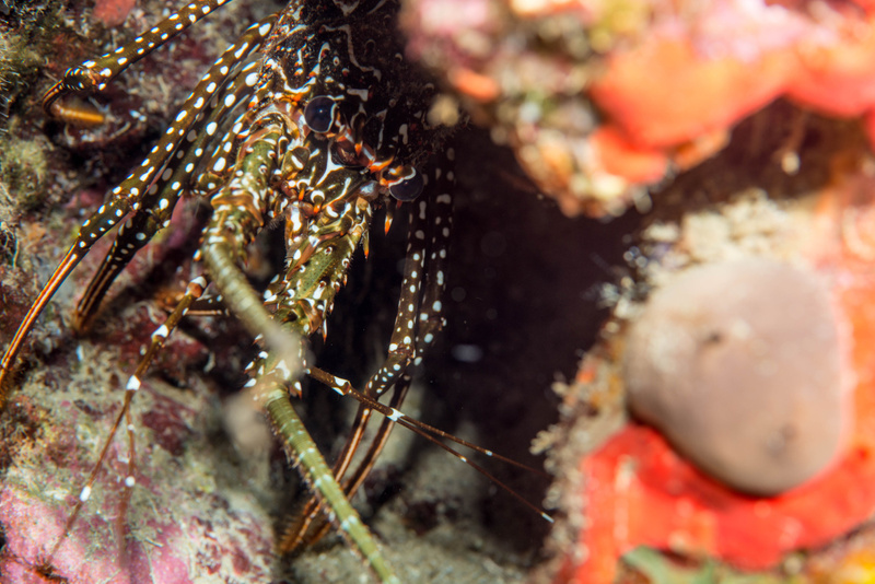 Shy spotted spiny lobster