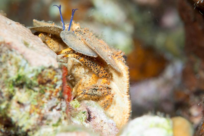 Spanish lobster underside