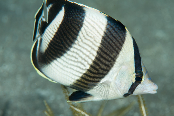 Banded Butterflyfish profile by Willis Chung