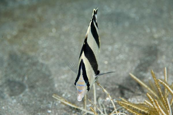 Banded Butterflyfish mug shot by Willis Chung