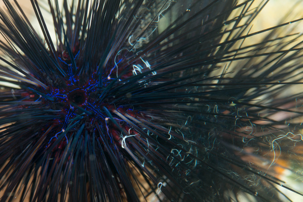 Sea urchin releasing sperm by Willis Chung