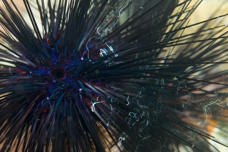 Sea urchin releasing sperm