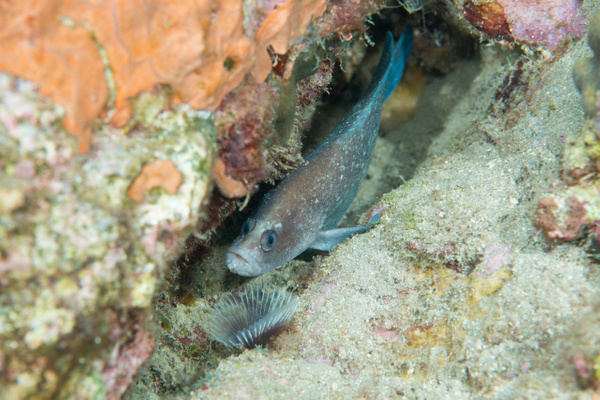 Greater Soapfish laying down, as usual by Willis Chung