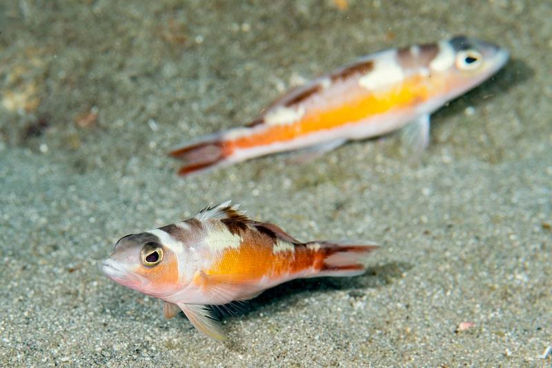 Pair of Tobaccofish