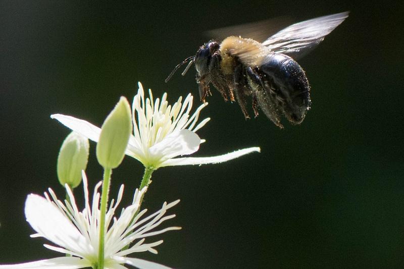 Bee landing on honeysuckle blossom