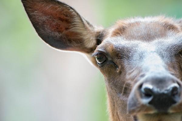 2015Jun Elk in Rocky Mountain Natl Park by Willis Chung...