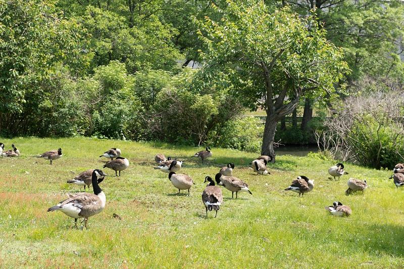 Boston geese