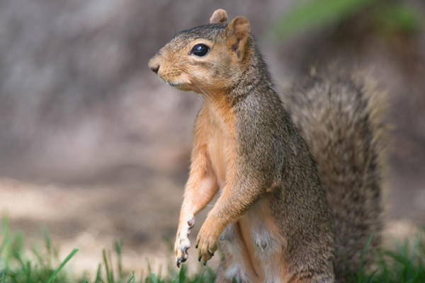 2015 Aug Denver Squirrels by Willis Chung by Willis Chung