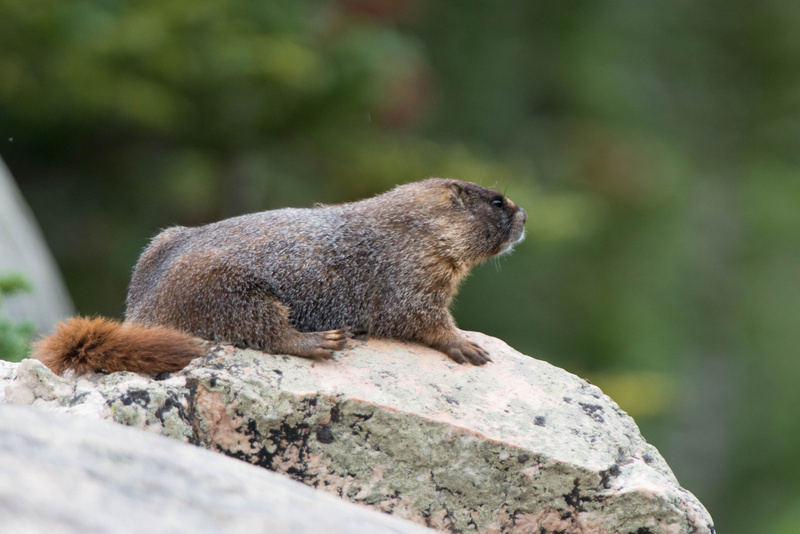 Resting marmot, looking over the valley