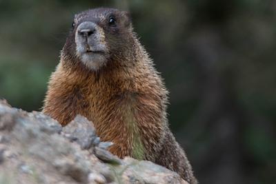 2015Aug Rocky Mountain Natl Park Marmots