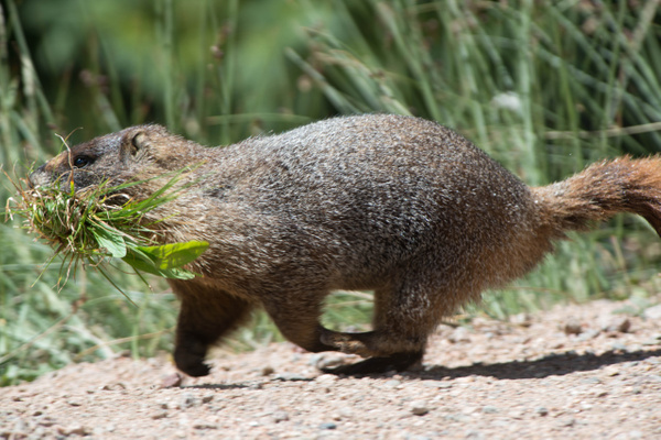 Marmot on the move, things to build! by Willis Chung