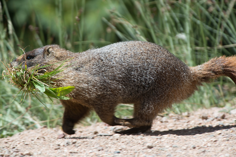 Marmot on the move, things to build!