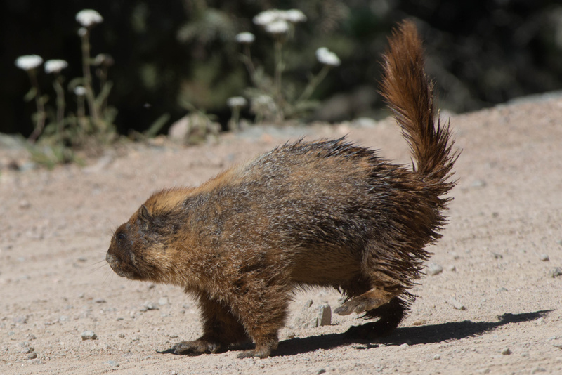 He spots another marmot, not a friendly one
