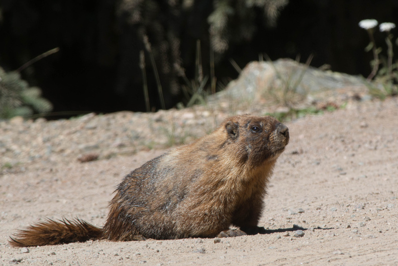 Marmot coming out onto the road looking for food