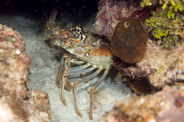 Lobster near the Prince Albert by Willis Chung