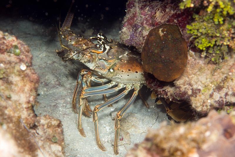 Lobster near the Prince Albert