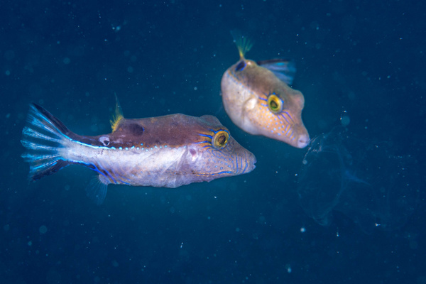 Sharpnose puffers dining on jellyfish by Willis Chung
