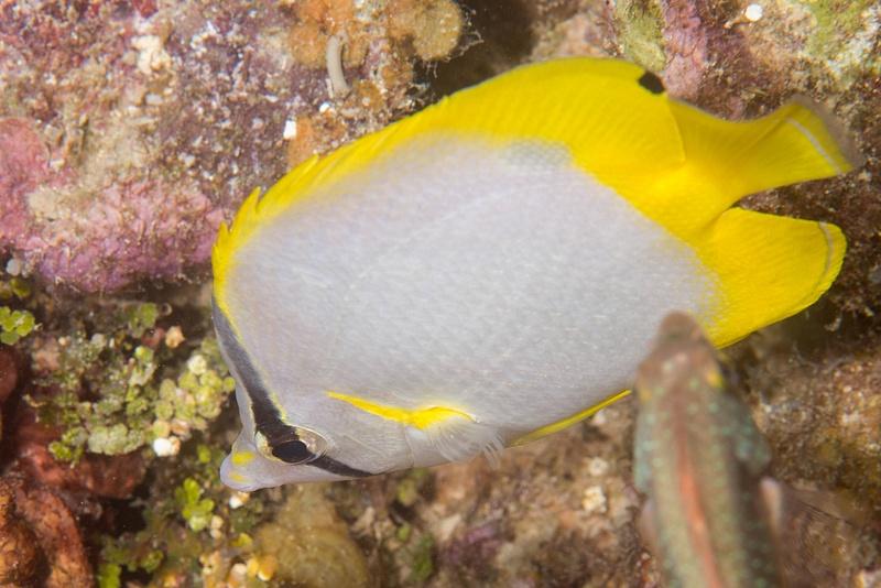 A spotfin butterflyfish
