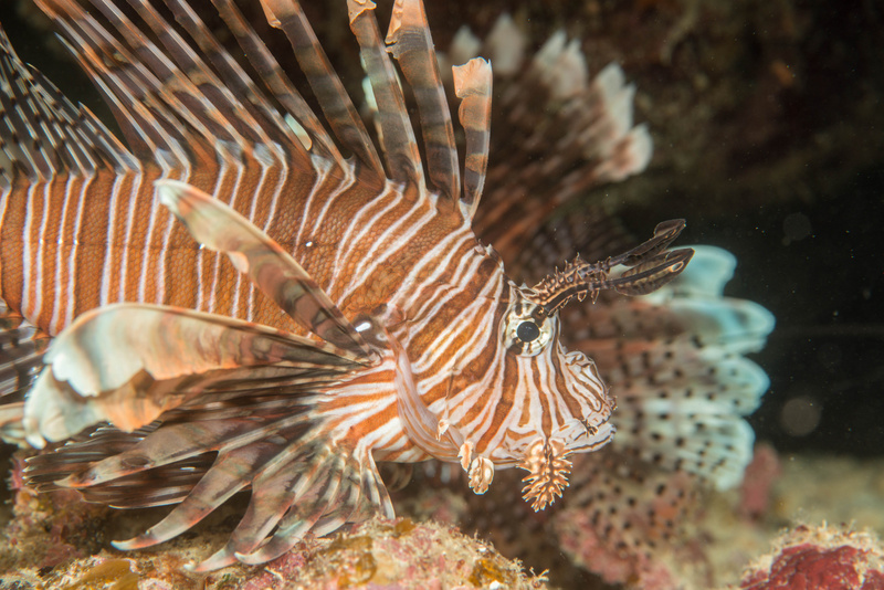 Many large lionfish here, three in this little cave